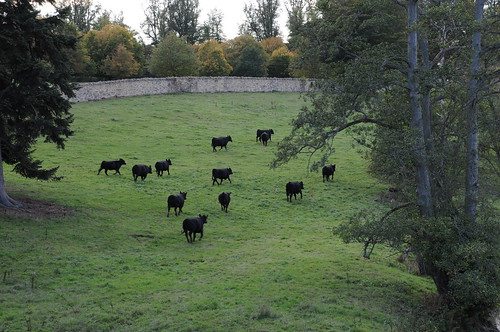 Cows Running Away Scared Cows Running Away