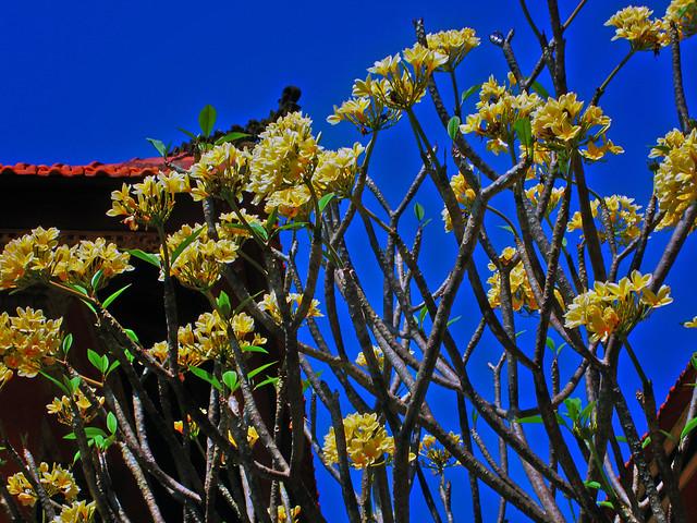 Bali Flower Tree Flickr Photo Sharing