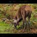 Red Deer (Cervus-elaphus)