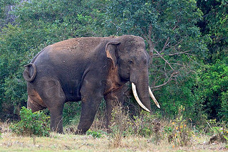Tuskers of Sri Lanka | by Sara-D