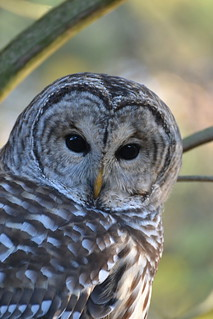 Barred Owl | by procana