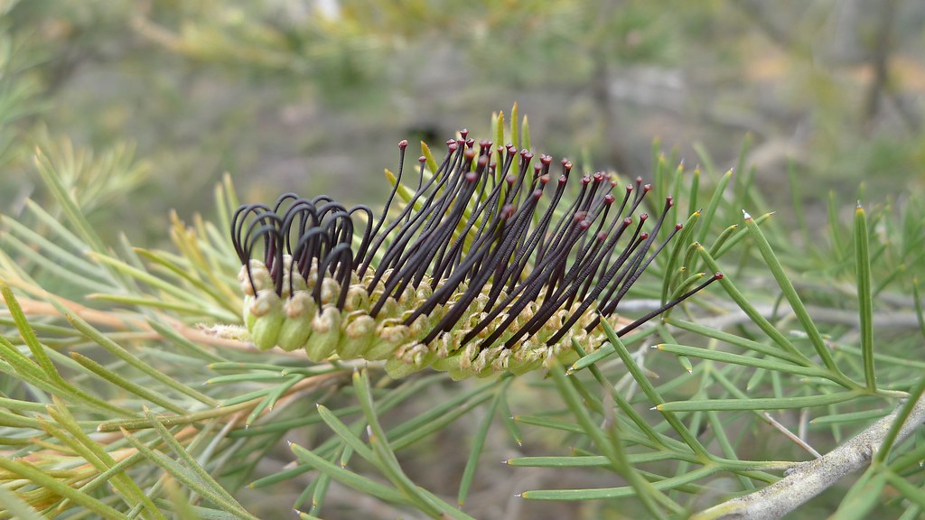 Black Grevillea Looking A Bit Like A Large Toothbrush A