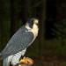 Peregrine Falcon 1230