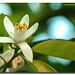 Flor de azahar (explore)