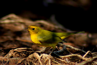 Species a Day, Day 159: Wilson's warbler | by khosey1