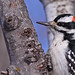Hairy Woodpecker...#13