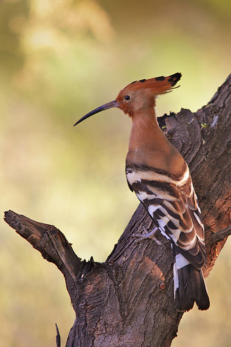 The Hoopoe , Upupa epops, | by sharadagrawal931978