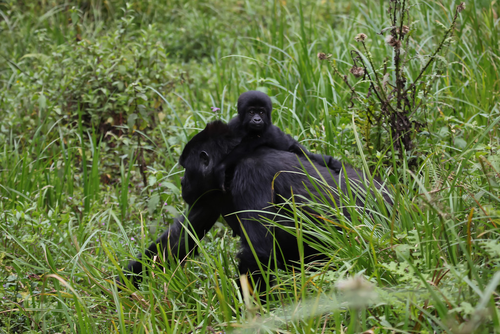 Berggorillas - Bwindi-Nationalpark