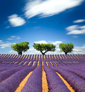 Lavender field, France - Explored :) - | by Beboy_photographies