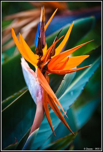 oiseau du paradis bird of paradise une des fleurs des serr flickr. Black Bedroom Furniture Sets. Home Design Ideas