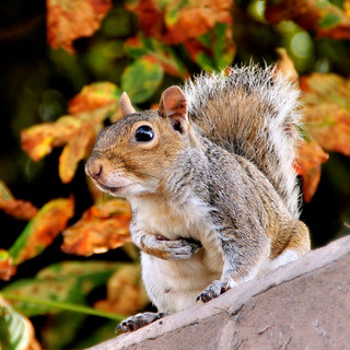 Grey Squirrel. | by Rita Wren