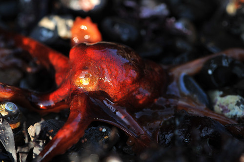 the red octopus | by matt knoth