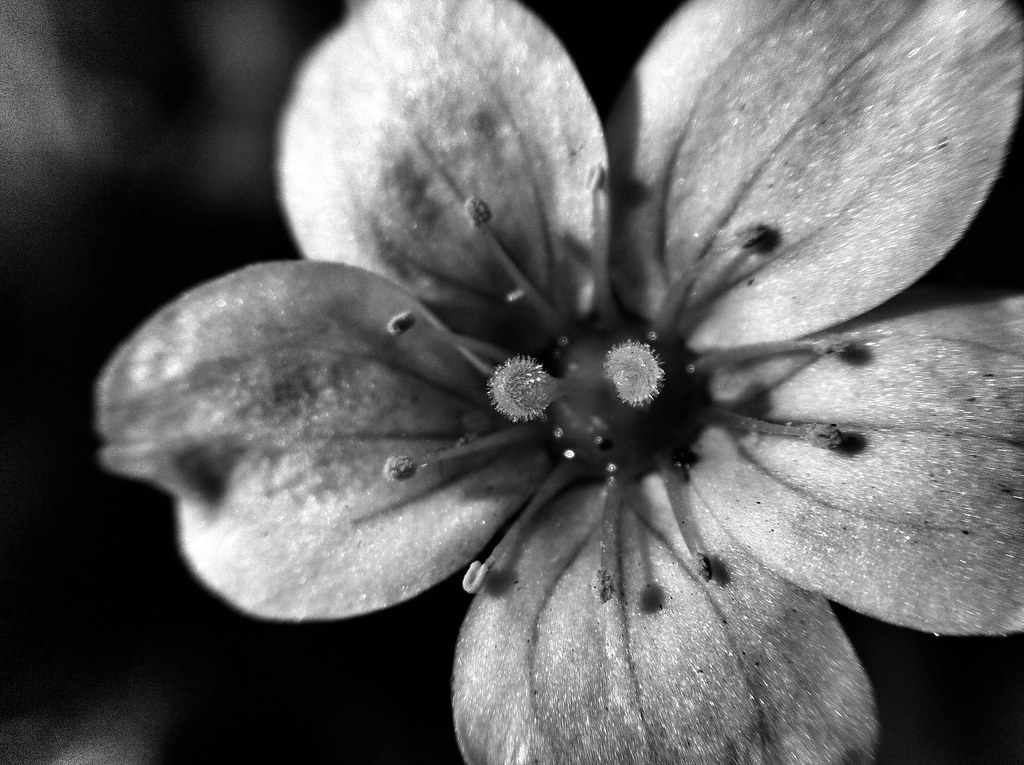 Black And White Macro Flower Photography Flower Open Black And White