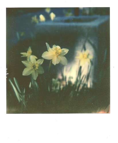 Daffodils | by Jan Ferme