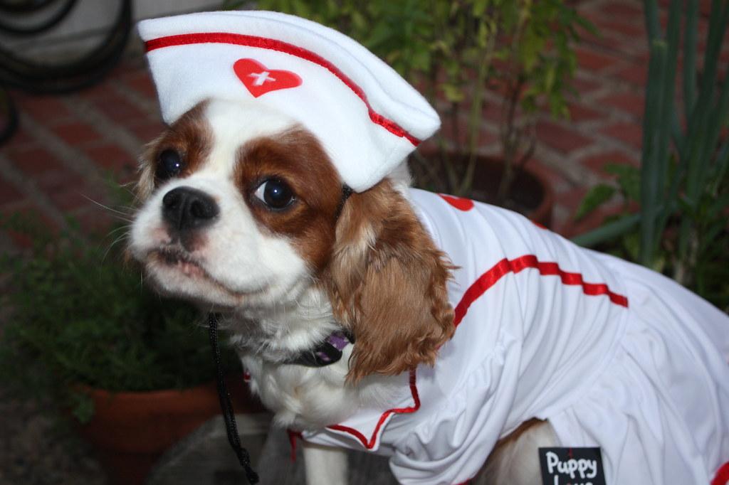 ... Nurse Halloween Dog Costume | by Puppy Love Dog Boutique & Nurse Halloween Dog Costume | puppy love online dog boutiqueu2026 | Flickr