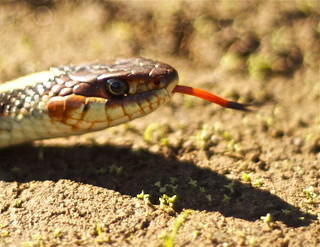 Snake in the Grass...I mean Dirt | by Accendoimages
