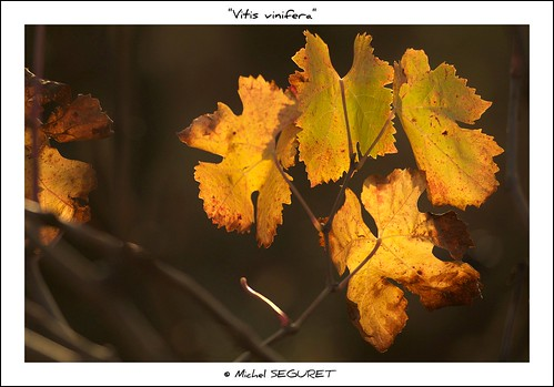 Vitis vinifera | by Michel Seguret Thanks all for 9.800 000 views