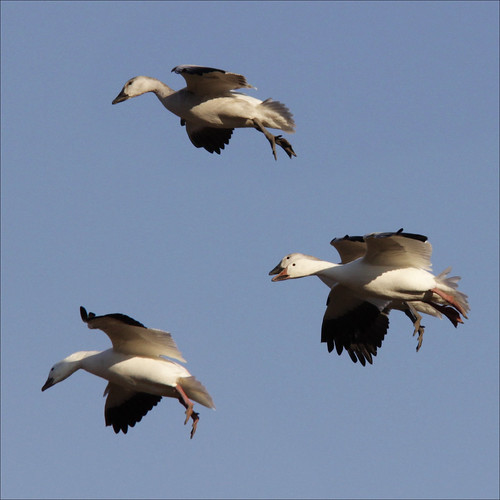 Snow Geese (landing gear down) | by NaPix -- (Time out)