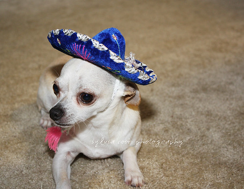Chihuahua with sombrero on | by slcook52 (Sylvia)