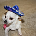 Chihuahua with sombrero on