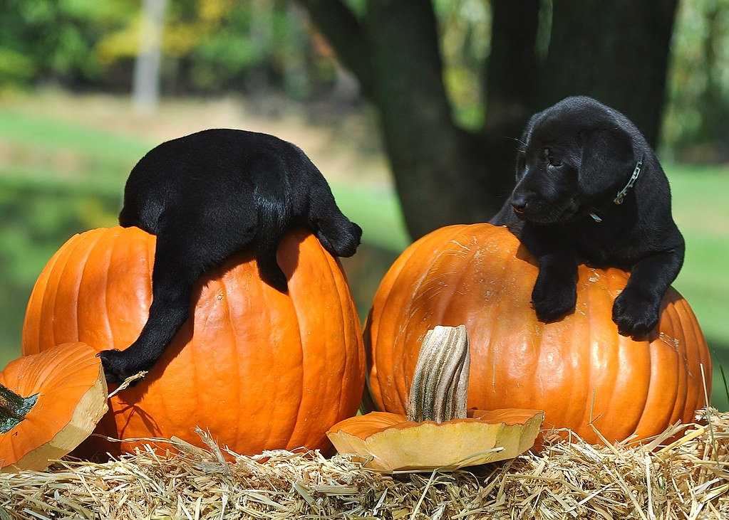 Puppies And Pumpkins Had So Much Fun Takeing Puppy Pics Fo Flickr