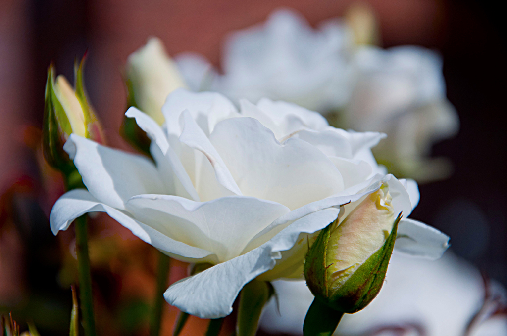 My Pretty Rose Tree