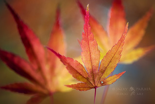 Dresses of red & gold | by Jacky Parker Flower Photography