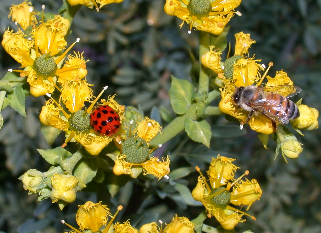 lady bugs bees flowers - photo #1