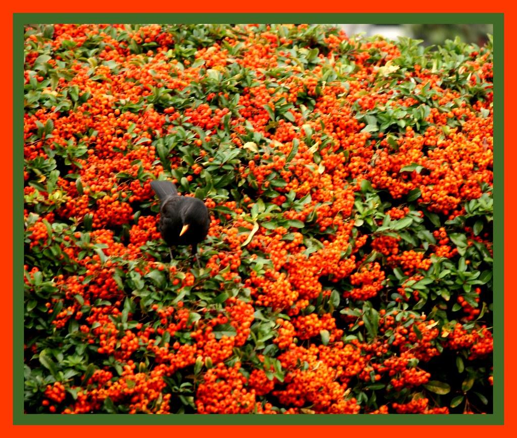 Il merlo sul phyracanta del mio giardino vittoria salati for Giardino 3d gratis italiano
