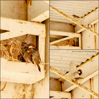House Sparrows | by Karina Diarte de Maidana