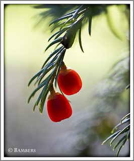 Yew berries. | by BambersImages