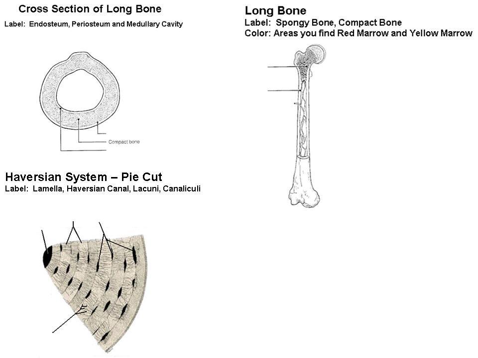 x-section - long bone - haversian system   timothyakeller   Flickr