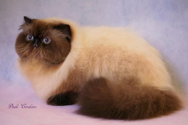 Persian Cat- Himalayan...