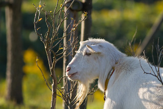 Goat in the park | by ...DoN...