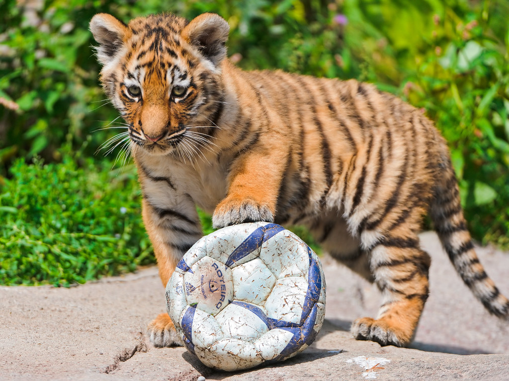 Cub With Ball Liska Again Proudly Setting A Paw On