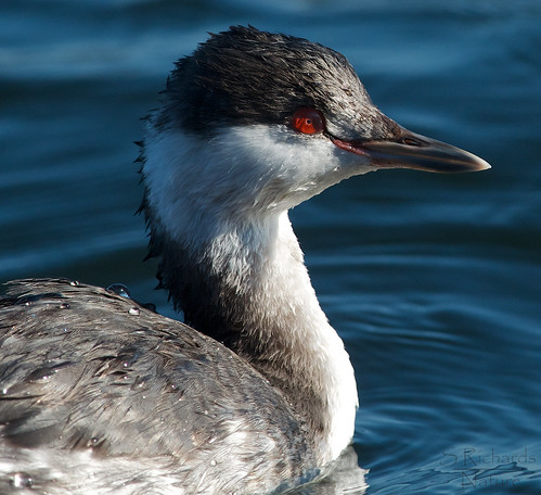 Horned grebe | by Through The Big Lens