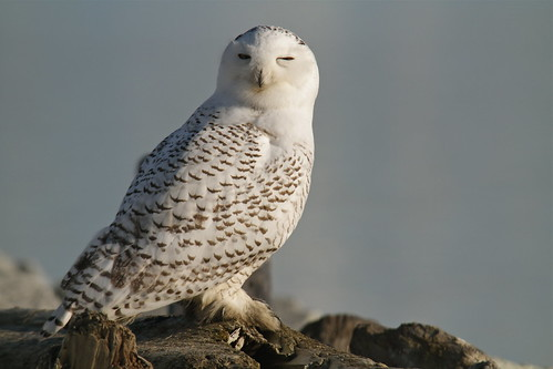 Great snowy white owl | by Eyesplash - Summer was a blast, for 6 million view