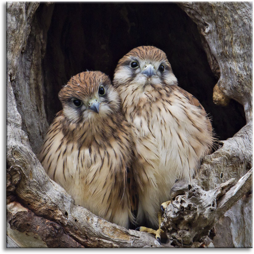 Nankeen Kestrel Youngsters This Pair Of Young Kestrels