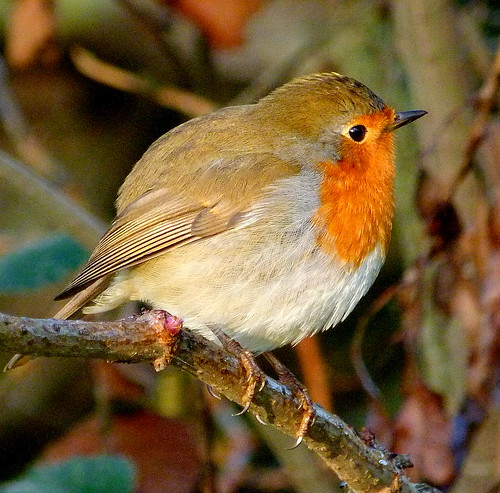 robin red breast! | by enviro warrior