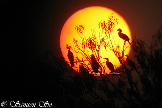 Cormorants and Sunset | by Samson So Photography