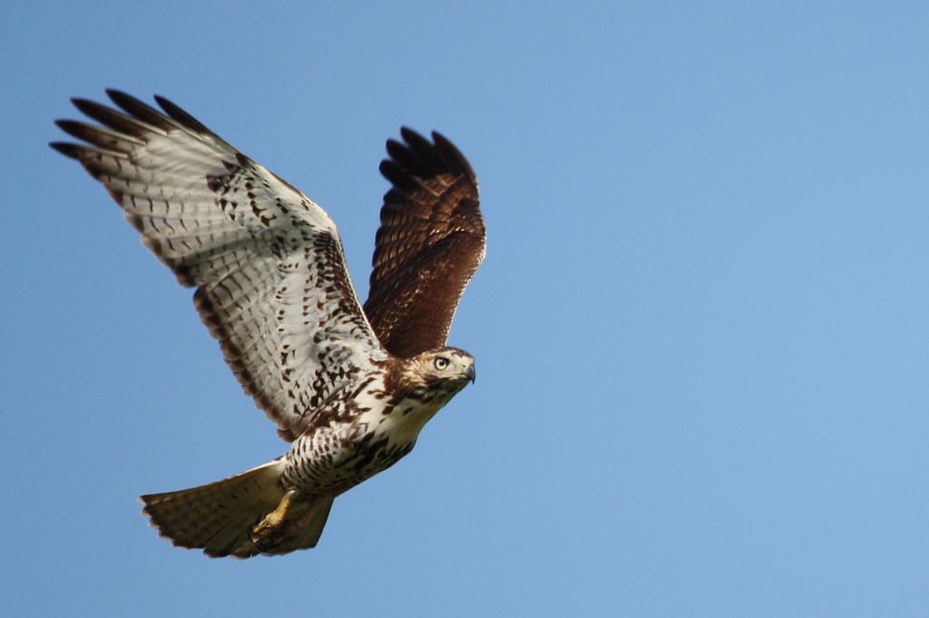 Image result for hawk image