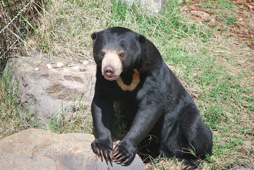 Sun Bear | by andrew.napier