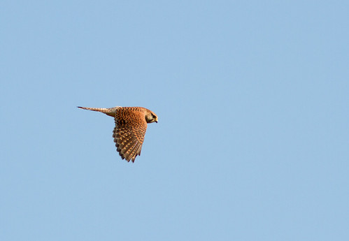 kestrel | by davidrjohn1(AKA THE DIPPER)