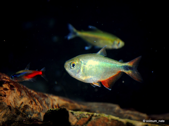 Buenos Aires Tetra Hyphessobrycon anisitsi Flickr - Photo Sharing!
