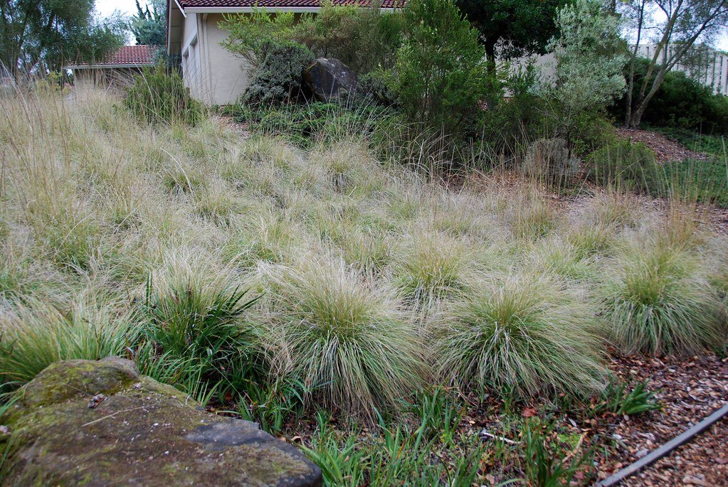 Muhlenbergia Rigens Deergrass This Was Part Of The