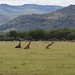 Our first glimpse of giraffes!