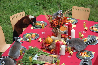 Lemur Feast at the San Francisco Zoo | by sfzoo
