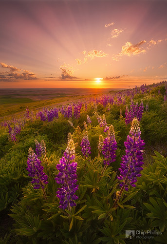 Palouse Lupine Rays | by Chip Phillips