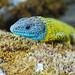 Iberian Emerald Lizard / Lagarto-de-água (Lacerta schreiberi)