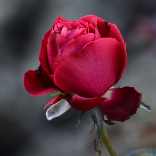 Red rose | by chiticaru petrica